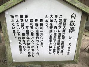 白猴欅(はっこうけやき)